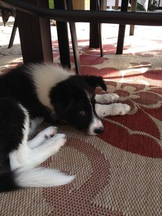 Solomon, the Border Collie puppy likes to hang out on the patio.