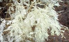 Unraveling The Mystery Of California's Albino Redwood Trees | Care2 Causes