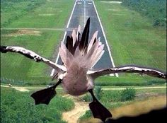 funny-picture-bird-swoops-down-on-the-runway