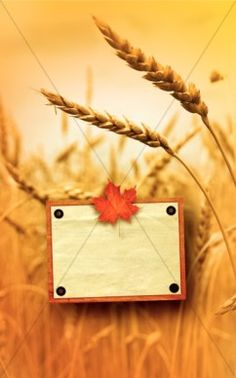 Looking for beautiful fall church bulletin covers? This Church bulletin cover template features stocks of wheat as a background to your program content. A single maple leaf in full color adorns a frame for your Church name or welcome to your congregation. #Sharefaith
