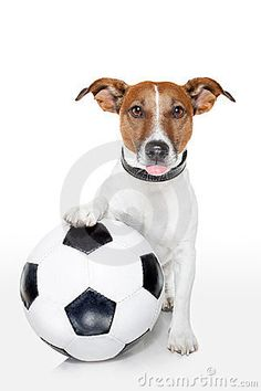 jack russelel honden afbeeldingen | Dog with a white soccer ball sticking out the tongue.