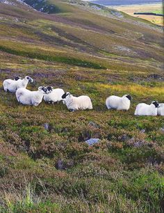 scottish black-faced sheep