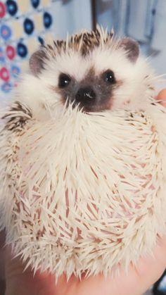 #babyhedgehogs