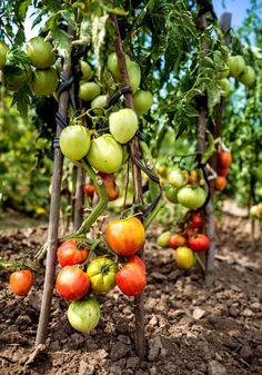 10 tips voor de heerlijkste tomaten - Libelle Tomato Seedlings, Growing Herbs, Bird Houses, Garden Inspiration, Organic, Fruit, Vegetables, Health, Flowers