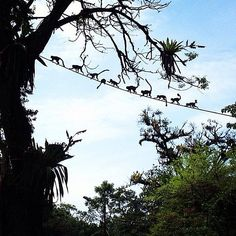 A monkey parade in Manuel Antonio, Costa Rica.  www.4tulemar.com