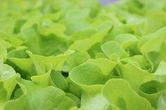 Grün leuchtender #Kopfsalat