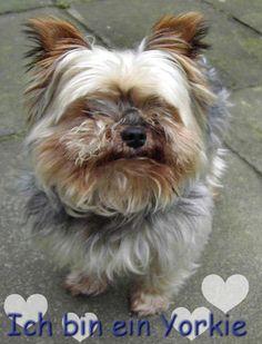 Hallo, Ich bin Jack aus dem Buch  Yorkshire Terrier - Zwerge mit Löwenherz,  ISBN 10: 3842352042 / ISBN-13: 978-3842352049