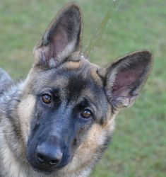 German Shepherd Dog dog for Adoption in Englewood, FL. ADN-754480 on PuppyFinder.com Gender: Male. Age: Young