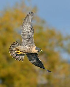 Faucon pèlerin - Peregrine Falcon - Halcón Peregrino - Pellegrino - Wanderfalke-peregrinus ( Falco peregrinus ) on the Hunt by Kirk Benson on 500px
