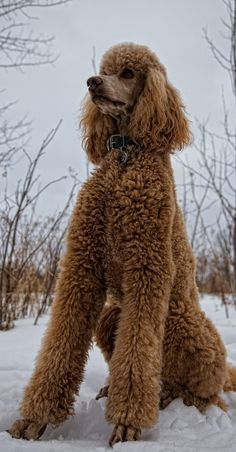 Poodles - one of my favourite dog breeds!