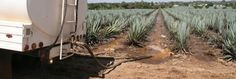 Tequila Drinkers Are Killing the Environment