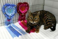 Bengal, Club, Pets, Animals, Flare, Animales, Animaux, Animal, Animais