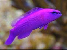 Stunning Orchid Dottyback Fish Marine Coral Aquarium