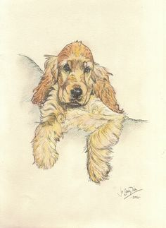 Cocker spaniel pup, pen and ink.