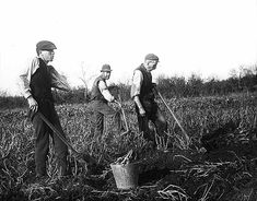 Digging for potatoes. Three labourers on the Clonbrock Estate, Ahascragh, Co. Galway.  Date: Circa 1900