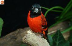 https://www.facebook.com/WonderBirds-171150349611448/ Sẻ thông Siskin đỏ; Họ Sẻ thông-Fringillidae; Colombia và Venezuela || Red siskin (Spinus cucullata); IUCN Red List of Threatened Species 3.1 : Endangered (EN)(Loài nguy cấp)
