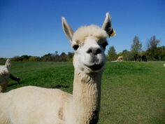 Friendly Alpaca from Lazy Acre Alpacas, Bloomfield
