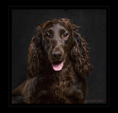 Vega the Working Cocker Spaniel at a portrait session this weekend.   A young and lively young lady, we do love a challenge.
