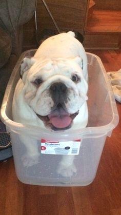 English Bulldog ❤ Look, Mom, I fit!