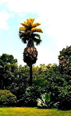 Gran Palma de Ceyla, Caracas, Venezuela. Flora venezolana