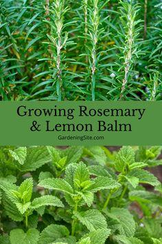 How to easily grow rosemary and lemon balm herbs at home. #GrowingRosemaryFromSeed #GrowingRosemaryIndoors #GrowingRosemaryOutdoors #GrowingLemonBalmFromSeed #GrowingLemonBalm Growing Herbs At Home, Growing Vegetables, How To Grow Lemon, How To Make Tea, Growing Lemon Balm, Grow Rosemary, Herbal Tinctures, Best Indoor Plants, Herb Gardening