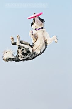 feanutri's deviantART gallery This pic makes me think of my border collie (Murphy) who LOVED to play frisbee.I could throw that friz until my arm fell off! Dog Training Methods, Training Your Dog, Flying Dog, Dog Agility, Dog Photography, Dog Photos, Best Dogs, Dog Breeds, Cute Dogs
