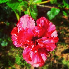 Garden Discoveries - Red flower in full bloom.