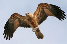 kite   bird   Britannica.com