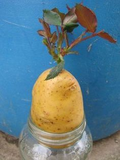 Propagate roses: With cuttings you can easily .- Rosen vermehren: Durch Stecklinge gelingt´s Ihnen ganz einfach multiply roses with potatoes - Growing Roses, Growing Plants, Growing Vegetables, Garden Care, Container Flowers, Container Plants, Gardening For Beginners, Gardening Tips, Gardening Zones