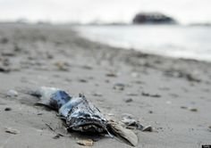 A dead fish is seen on the beach May 5,