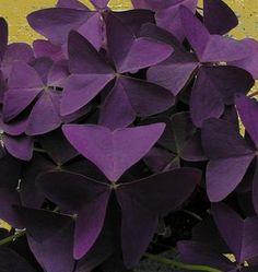 Shade perennial ground cover - Oxalis regnellii triangularis Francis Purple shamrock plant