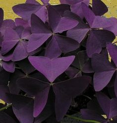 purple oxalis -- I've been growing this plant in a container for years. I bring it inside every winter, and let it go dormant in my basement, though I do water it some.