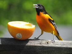 2012 PIC OF THE YEAR Baltimore Oriole by Mary Foss Bullard. See all finalists at http://saratogasprings.wbu.com/content/show/86706