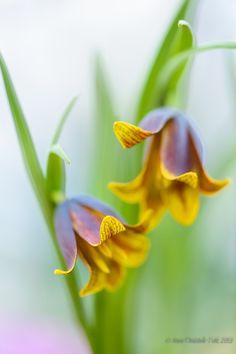 Photo Fritillaria uva-vulpis by Anna Omiotek-Tott on 500px