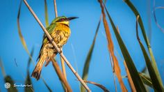 Villa Santorini is situated in one of the most colourful parts of Mozambique. Just have a look up in the tree or into the sky and you will see all the amazing feathered creatures that live in this piece of paradise. #VillaSantorini #Mozambique #BeeEater