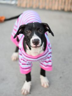 Brooklyn Center RITA – A1088387 FEMALE, BLACK / WHITE, PIT BULL MIX, 6 mos STRAY – STRAY WAIT, NO HOLD Reason STRAY Intake condition EXAM REQ Intake Date 09/02/2016, From NY 11212, DueOut Date09/05/2016