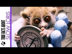 True Facts about the Slow Loris - YouTube