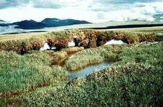 """El término tundra deriva de la palabra """"tunturi"""" en suomi, que significa llanura sin árboles. Es el bioma más frío en la Tierra."""
