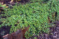 Linnaea borealis americana