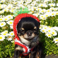 おはりり   可愛いお花に囲まれて あったかい ウトウト ネムネム   Li'li'i #chihuahua  #眠る#ストロベリーたん #お花畑 #居眠り姫 by chihuahuakaachan