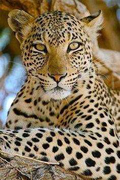 animals wild beautiful creatures mammals Beautiful cheetah with beautiful green eyes Nature Animals, Animals And Pets, Cute Animals, Wild Animals, Colorful Animals, Baby Animals, Fierce Animals, Green Animals, Beautiful Cats