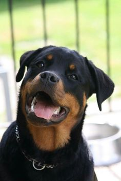 I miss my Rottweiler! She was so sweet, with an awesome disposition and her name was Luger, but I called her Skoobie :).
