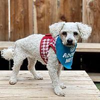 Pacific Grove California, Foster To Adopt, Bichon Frise, Poodle, Pet Adoption, Safari, Miniatures, Meet, Babies