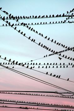 Birds on wires. And of course, cotton candy skies. #MrBowerbird