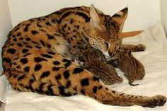 The serval looks a bit like a cheetah with its spots and slender body. It is also a fast runner and native of Africa but the serval is a little smaller and has big ears on a smallish head and has long limbs. African Serval Cat, African Cats, Serval Cats, Big Cats, Cats And Kittens, Long Legs, Baby Animals, Google Search, Mom