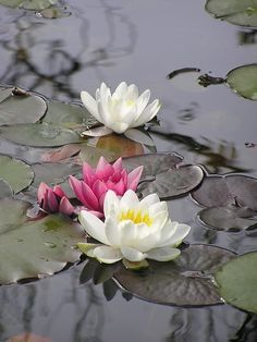 "Lotus (Water Lily) flowers.   (""fiore di loto.')"