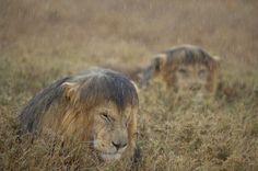 Trübe Tage: Zwei Löwenmännchen kauern während eines Regengusses in der...
