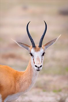 Springbok wouldnt mind having a few of these grazing in the garden