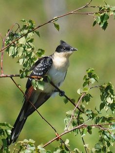 The great spotted cuckoo (Clamator glandarius) is a member of the cuckoo order of birds, the Cuculiformes. It is a widespread summer migrant to southeast and southwest Europe and western Asia, and winters in Africa. It is a brood parasite, which lays its eggs in the nests of corvids (especially magpies), and starlings.