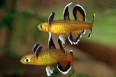 peixes de agua doce para aquario - Pesquisa Google Tropical Freshwater Fish, Tropical Fish Aquarium, Freshwater Aquarium Fish, Aquarium Fish Tank, Planted Aquarium, Beautiful Tropical Fish, Beautiful Fish, Underwater Creatures, Ocean Creatures